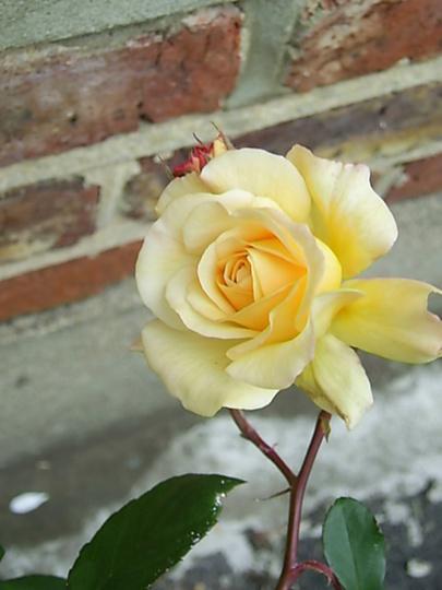 """Yellow Rose """"Buff Beauty"""""""