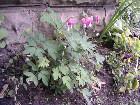 Bleeding Hearts still blooming (Dicentra eximia (Bleeding Heart))