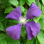 Clematis viticella 'Etoile Violette' (Clematis viticella (Viticella Group clematis))