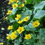 Marsh Marigold (Caltha palustris) (Caltha palustris (Kingcup))