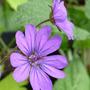 Geranium pyrenaicum 'Bill Wallis' (Geranium pyrenaicum (Hedge Cranesbill))