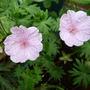 Geranium sanguineum var. 'Lancastriense' (Geranium sanguinium var. 'Lancastriense')
