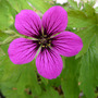 Geranium 'Nicola' (Geranium)