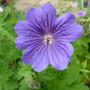 Geranium x magnificum 'Rosemoor' (Geranium magnificum 'Rosemoor')