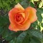 Rose_doris_tysterman