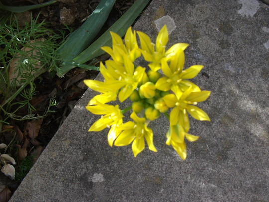 Allium Moly (Allium moly (Golden Garlic))