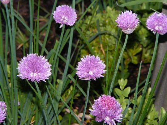 Chives (Allium schoenoprasum (Chives))