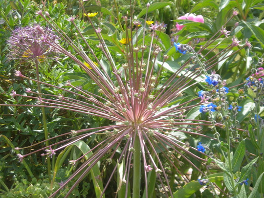 Allium schubertii (Allium)