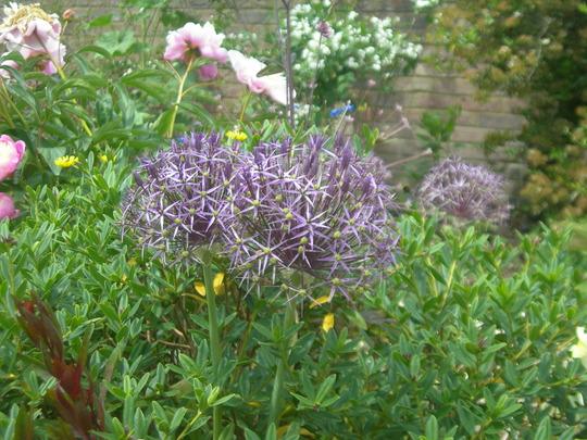 Allium cristophii (Allium)