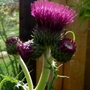 Cirsium Rivulare Atropurpureum (Cirsium rivulare (Plume thistle))