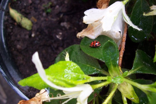 Lucy Ladybird !