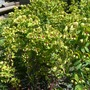 Euphorbia x martinii 'Red Flush' (Euphorbia x martinii Walberton's Red Flush)