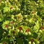 Euphorbia x martinii ' Red Flush' flower heads (Euphorbia x martinii Walberton's Red Flush)