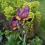 Iris_germanica