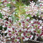 Close up shot of Sempervivum flowers -oops, wrong! It should be saxifraga longifolia