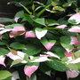 Actinidia kolomikta (foliage) - 2011 (Actinidia kolomikta)