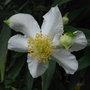 Carpenteria_californica_2011