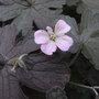 Geranium_dusky_rose_2011