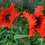 Poppy 'Turkenlouis' (Papaver orientale (Oriental poppy) 'Turkenlouis')