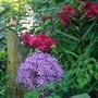 Allium Globemaster  & Rosa Tess of the D'ubervilles