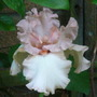 A pretty pink iris (Iris germanic 'Rose Pic')