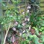Martagon buds (Liliium martagon)