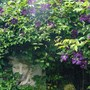 Medus Fountain and Stunning Clematis