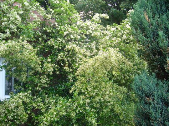 Pyracantha in bud (Pyracantha angustifolia (Fire Thorn) 'Golden Sun')