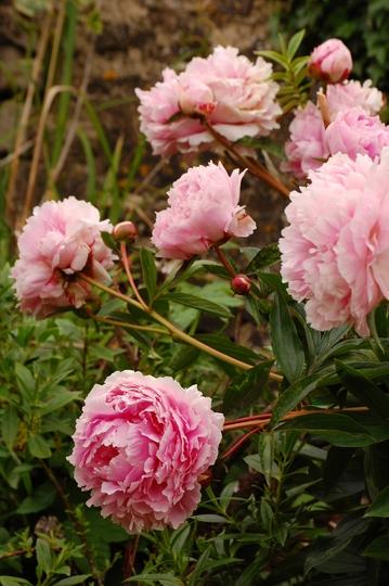 """Sues Paeonia """"Sarah Bernhardt"""" (paeonia)"""