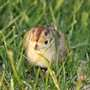 Img_8350_fergus_the_pheasant_chick_cr