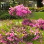 Azaleas Blooming (Azalea)