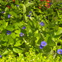 Thunbergia battiscombei - Blue Glory, Blue Boy  (Thunbergia battiscombei - Blue Glory, Blue Boy)