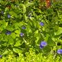 Thunbergia battiscombei - Blue Glory, Blue Boy  (Thunbergia battiscombei - Blue Glory, Blue Boy)