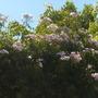 Pandorea jasminoides - Bower Vine (Pandorea jasminoides - Bower Vine)