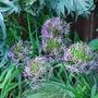 Allium_Christophii.jpg (Allium christophii)