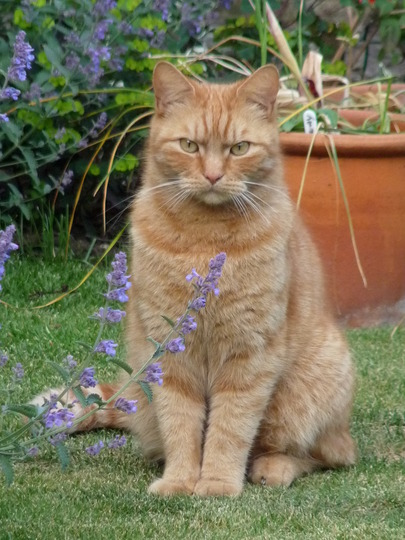 Teddy with Catmint (Nepeta nervosa (Catmint))
