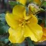 Fremontenron_-_California_Glory_flower.jpg