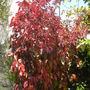 Acalypha wilkinsiana 'Jungle Dragon' - Jungle Dragon Copper Plant (Acalypha wilkinsiana 'Jungle Dragon' - Jungle Dragon Copper Plant)