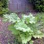 Rhubarb 'Timperley Early' 04.11 (Rheum rhabarbarum)