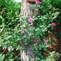Rose_and_scotch_pine_trunk.jpg