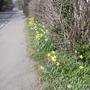 Mixed Narcissi below Hazel Hedge 03.09 (Narcissus)
