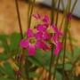 Oxalis lasiandra (Oxalis lasiandra)