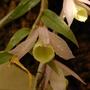 Dendrobium aphyllum (Dendrobium aphyllum)