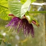 Passiflora quadrangularis (Passiflora quadrangularis (Giant grenadilla))