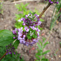Buddleja alternifolia (Buddleja alternifolia)