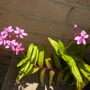 Epidendrum Purple Orchids (Epidendrum Purple Orchids)