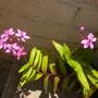 Epidendrum Purple Orchids (Epidendrum Purple Orchids)