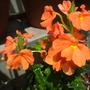 Crossandra infundibuliformis 'Orange Marmalade'  (Crossandra infundibuliformis 'Orange Marmalade')