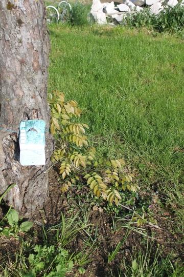 Wisteria sinensis Blue (Wisteria sinensis (Chinese wisteria))