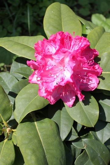 "Rhododendron ""Germania"" (Rhododendron ""Germania"")"